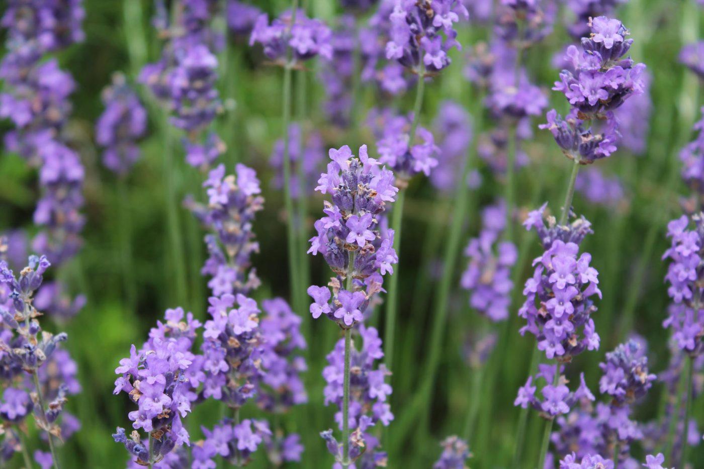 Fleur Violet